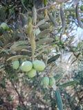 Olivier, olive dans dal photographie stock libre de droits