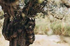 Olivier vert avec beaucoup d'olives images stock