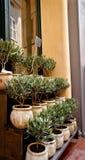 Oliviers à vendre en Provence Photos libres de droits