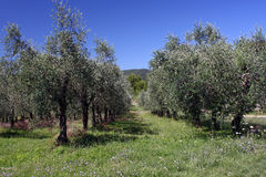 oliviers Photographie stock libre de droits