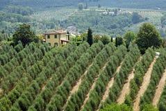 Oliviers toscans Photo libre de droits