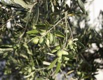 Olivo用橄榄 库存图片