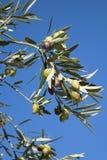 Olivo con las aceitunas verdes y negras Imagenes de archivo