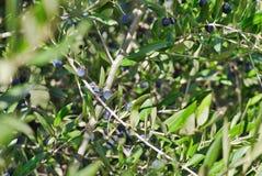 Olivo con las frutas maduras frescas imagen de archivo libre de regalías