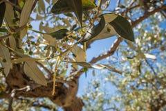 Olivo con las pequeñas aceitunas inmaduras y el cielo azul Fotos de archivo libres de regalías