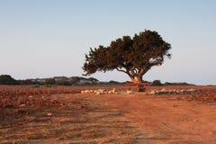 Olivo en el campo Foto de archivo libre de regalías