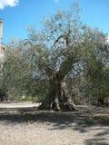 olivo en la abadía de Sant Antimo Foto de archivo libre de regalías
