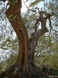 olivo en la abadía de Sant Antimo Foto de archivo