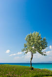 Olivo en la playa griega Imagenes de archivo