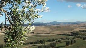 Olivo en paisaje toscano metrajes