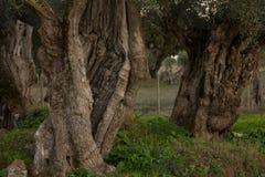 Olivo milenario en Alentejo, Portugal Imagen de archivo libre de regalías