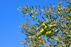 Olivo, rama con las hojas del verde y aceitunas en un fondo del cielo azul Foto de archivo libre de regalías