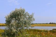 Olivo salvaje sobre el lago de sal Fotos de archivo
