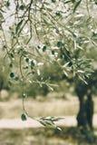Olivo verde con muchas aceitunas imagen de archivo
