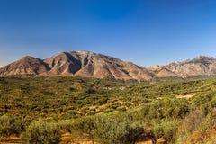 Olivo y montañas Fotos de archivo libres de regalías