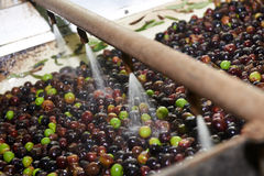 Olivoljapress Royaltyfri Fotografi