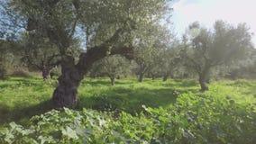 Olivos durante tiempo de primavera almacen de metraje de vídeo