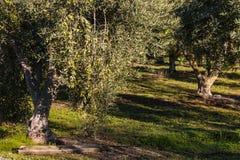 Olivos en arboleda verde oliva imagenes de archivo