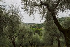Olivos en Toscana Fotos de archivo