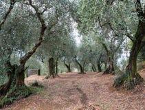 Olivos en Toscana Foto de archivo