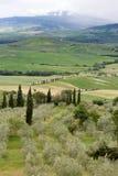 Olivos en Toscana Foto de archivo libre de regalías