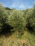 Olivos, Italia del sur Fotografía de archivo