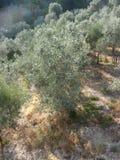 Olivos, Italia del sur Imágenes de archivo libres de regalías