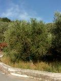 Olivos, Italia del sur Imagenes de archivo