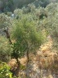 Olivos, Italia del sur Foto de archivo