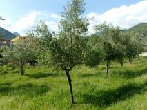 Olivos, Italia del sur Foto de archivo libre de regalías