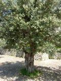 Olivos, Italia del sur Imagen de archivo