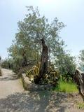 Olivos, Italia del sur Imagen de archivo libre de regalías