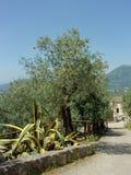 Olivos, Italia del sur Fotos de archivo