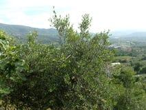 Olivos, Italia del sur Fotografía de archivo libre de regalías