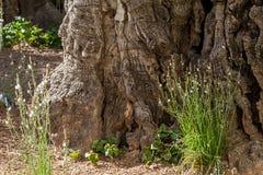Olivos viejos en el jardín de Gethsemane Fotos de archivo libres de regalías