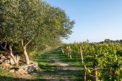 Olivos y viñedo en verano tardío Fotografía de archivo