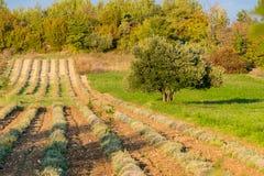 Olivos y viñedo en verano tardío Imagenes de archivo