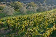 Olivos y viñedo en verano tardío Imagen de archivo