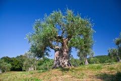 Olivträd Royaltyfri Foto