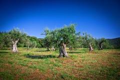 Olivträd Fotografering för Bildbyråer
