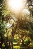 Olivträd royaltyfria foton