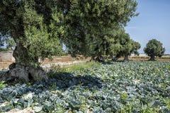 Olivträd bland kultiverade fält Royaltyfri Foto