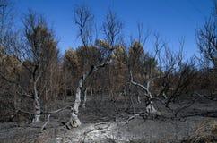 Olivträd brände till jordningen i en skogsbrand - stora Pedrogao Arkivfoton
