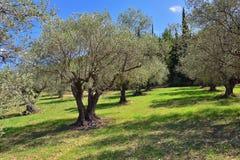 Olivträd dunge, Grekland royaltyfri foto