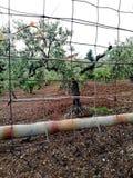 Olivträd för en utmärkt produktion av calabrese extra jungfrulig olivolja fotografering för bildbyråer