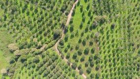 Olivträd från över arkivfilmer