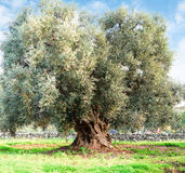 Olivträd i apuliabygd Royaltyfri Bild