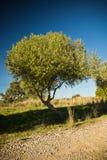 Olivträd i blå himmel Arkivbild