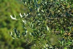 Olivträd i en lantgård Arkivfoton
