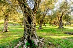 Olivträd i höst i Valdanos, Ulcinj, Montenegro arkivbilder